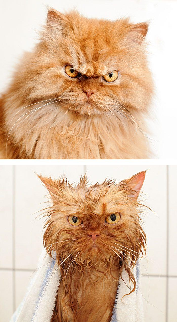 funny-wet-pets-before-after-bath-dogs-cats-47-5728a6b3050ff__700