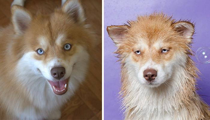 wet-dogs-before-after-bath-51-57a836fe3ac4b__700